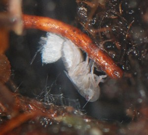 Fifth instar C. meridionalis nymph feeding on a root of Empetrum nigrum in a terrarium.