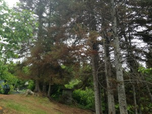 Spruce trees damaged by aphids, 9.June.2015.