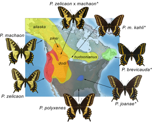 Generalized range map of current distributions of the Papilio machaon species complex in North America.